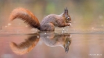 104 Hobby Fotografie - Karel De Blick - Natuurfotograaf - Vogelfotografie - Noordernieuws.be - eekhoorn 1