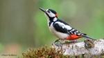 108 Hobby Fotografie - Karel De Blick - Natuurfotograaf - Vogelfotografie - Noordernieuws.be - grote bonte specht