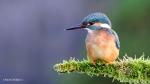 110 Hobby Fotografie - Karel De Blick - Natuurfotograaf - Vogelfotografie - Noordernieuws.be - ijsvogel 1