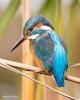 111 Hobby Fotografie - Karel De Blick - Natuurfotograaf - Vogelfotografie - Noordernieuws.be - ijsvogel