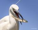 114 Hobby Fotografie - Karel De Blick - Natuurfotograaf - Vogelfotografie - Noordernieuws.be - kleine zilverreiger