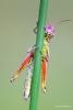 116 Hobby Fotografie - Karel De Blick - Natuurfotograaf - Vogelfotografie - Noordernieuws.be - moerassprinkhaan