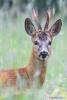 117 Hobby Fotografie - Karel De Blick - Natuurfotograaf - Vogelfotografie - Noordernieuws.be - reebok