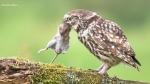 119 Hobby Fotografie - Karel De Blick - Natuurfotograaf - Vogelfotografie - Noordernieuws.be - steenuil