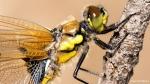 120 Hobby Fotografie - Karel De Blick - Natuurfotograaf - Vogelfotografie - Noordernieuws.be - viervlek - opdrogen van de vleugels