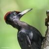 122 Hobby Fotografie - Karel De Blick - Natuurfotograaf - Vogelfotografie - Noordernieuws.be - zwarte specht