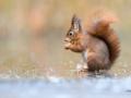 105 Hobby Fotografie - Karel De Blick - Natuurfotograaf - Vogelfotografie - Noordernieuws.be - eekhoorn
