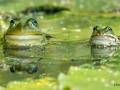 107 Hobby Fotografie - Karel De Blick - Natuurfotograaf - Vogelfotografie - Noordernieuws.be - groene kikker