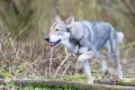 104 Saarlooswolfhond - Lisa van Hoof - Noordernieuws.be - Daya 2