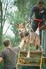 106 Saarlooswolfhond - Lisa van Hoof - Noordernieuws.be - Dogsurvival 2