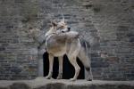 107 Saarlooswolfhond - Lisa van Hoof - Noordernieuws.be - Kerberos 1