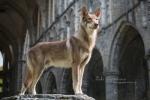 117 Saarlooswolfhond - Lisa van Hoof - Noordernieuws.be - Styx 1