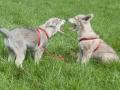 110 Saarlooswolfhond - Lisa van Hoof - Noordernieuws.be - Pups 2
