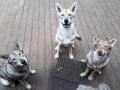 111 Saarlooswolfhond - Lisa van Hoof - Noordernieuws.be - roedel 1