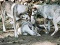 112 Saarlooswolfhond - Lisa van Hoof - Noordernieuws.be - roedel 2 Barbara Decré