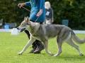 114 Saarlooswolfhond - Lisa van Hoof - Noordernieuws.be - Shows Daya 1