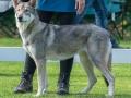 115 Saarlooswolfhond - Lisa van Hoof - Noordernieuws.be - Shows Daya 2