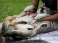 116 Saarlooswolfhond - Lisa van Hoof - Noordernieuws.be - Shows Daya 3