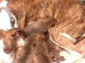 28 Moeder Sheva met de pups  - Noordernieuws.be - u80