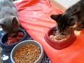 107 De Hobby van Peggy Lambrechts - Gastgezin Kittens - Canina - (c) Noordernieuws.be - 20181009_172557
