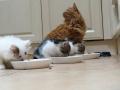 109 De Hobby van Peggy Lambrechts - Gastgezin Kittens - Canina - (c) Noordernieuws.be - IMG_1045