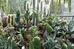 27 Rene Schenk - Cactus - ©Noordernieuws - DSC_1243