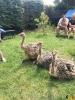 105 Wendy Adriaens - Hobby Struisvogels - Noordernieuws.be - 94d5da95-2b0b-498a-b0bf-7d311661e977