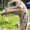 108 Wendy Adriaens - Hobby Struisvogels - Noordernieuws.be - 8429A1A5-F8A7-479F-A96D-6A9E0BAA609D