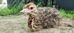Wendy-Adriaens-Hobby-Dieren-Struisvogels-c-Noordernieuws.be-2021-image00001