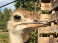 126 Wendy Adriaens - Hobby Struisvogels - Noordernieuws.be - fullsizeoutput_1a75