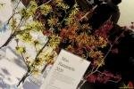 102 Arboretum Kalmthout - Miss Hamamelis verkiezing 2020 - (c) Noordernieuws.be - 00