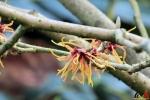107 Arboretum Kalmthout - Miss Hamamelis verkiezing 2020 - (c) Noordernieuws.be - 05