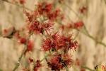 112 Arboretum Kalmthout - Miss Hamamelis verkiezing 2020 - (c) Noordernieuws.be - 10