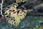 124 Arboretum Kalmthout - Miss Hamamelis verkiezing 2020 - (c) Noordernieuws.be - 22