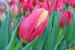 109 Vandaag gratis Tulpenpluk met Suske en Wiske - Noordernieuws.be - 07