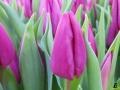 110 Vandaag gratis Tulpenpluk met Suske en Wiske - Noordernieuws.be - 08