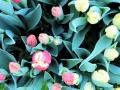 111 Vandaag gratis Tulpenpluk met Suske en Wiske - Noordernieuws.be - 09