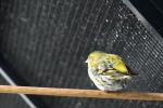 Dirk-De-Rycke-vogelliefhebber-Hobby-vogels-cNoordernieuws.be-HDB_2786s