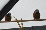 Dirk-De-Rycke-vogelliefhebber-Hobby-vogels-cNoordernieuws.be-HDB_2788s