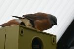 Dirk-De-Rycke-vogelliefhebber-Hobby-vogels-cNoordernieuws.be-HDB_2795s