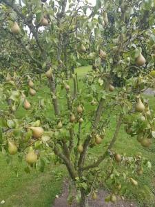09 De Hobby van... Fred Brink - Fruit en vruchten - ©Noordernieuws - 20160814_154115