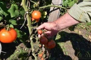 Bladeren net boven de tomaten verwijderen