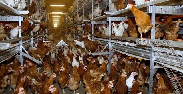Ophokplicht voor alle pluimvee