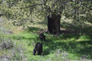 Beren in Yellowstone