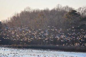 Sandhill kraanvogels in Alabama