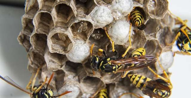 Een wespennest op zolder verwijderen