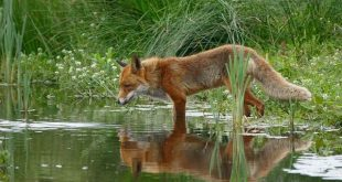 Hondenziekte (CDV) uitbraak bij wilde vossen - Foto © Yvette van den Berg - www.yvettenatuurfotografie.nl