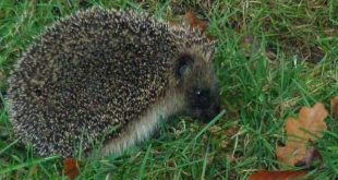 9 tips om egels in je tuin te helpen