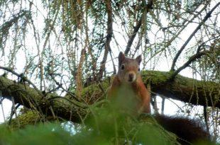 Eekhoorns planten wel eens bomen...