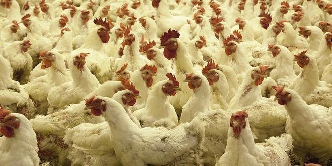 Fastfoodketens scoren onvoldoende op welzijn kippen